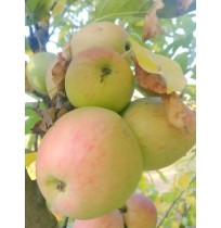 Organic Apples (Ambri) - the original Indian apple