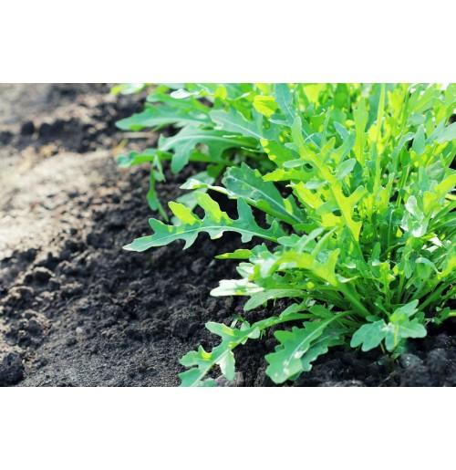 Seeds - Arugula Rocket Salad