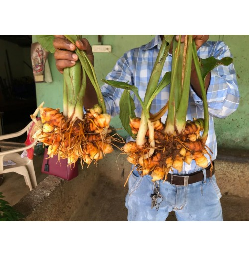Fresh Turmeric bunch with leaves