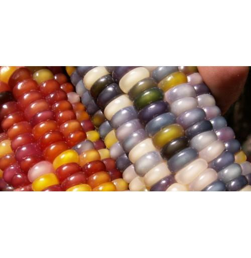 Seeds - Glass Gem (Rainbow) Flint Corn