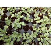 Micro Greens - Amaranth Red (Live Plant)
