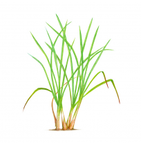 Lemon Grass Stalks