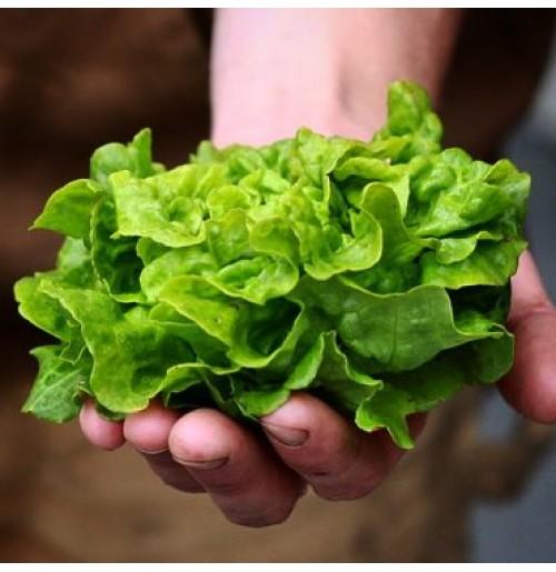 Seeds - Tom Thumb Lettuce - Butterhead
