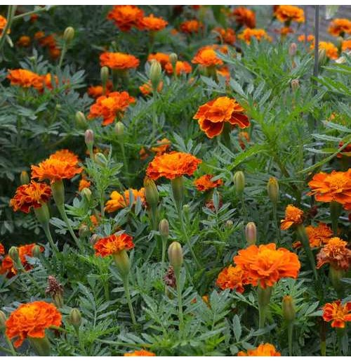Seeds - Marigold Indian