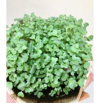 Micro Greens - Kale (live plant - cut and use)