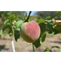 Peaches (Small Size & Slightly Sour)