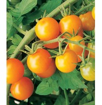 Seeds - Sungold Cherry Tomato