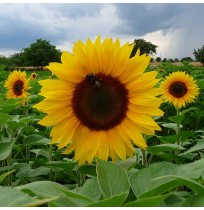 Seeds - Giant African Sunflower