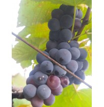 Bangalore Blue Grapes (with Seed)