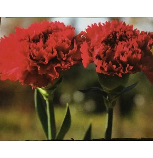 Seeds - Carnation