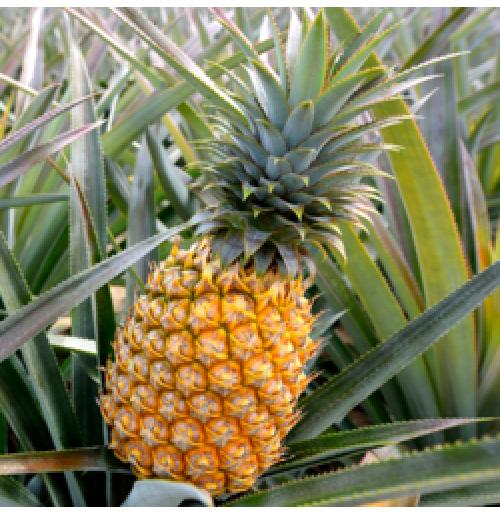 Pineapple from Meghalaya  (Sweet & Juicy) - (each pc 700g-1kg)