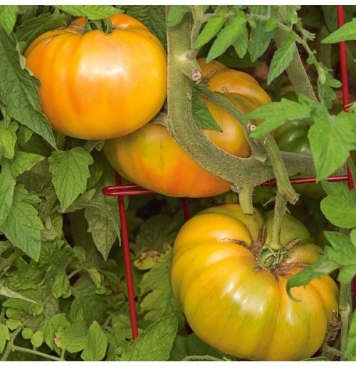 Seeds - Gold Medal Tomato