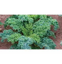 Kale Green (100 gms each bunch)