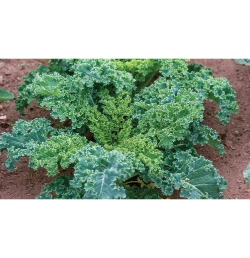 Curly Kale Green (100 gms each bunch)
