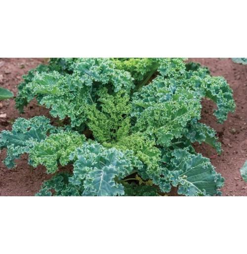 Kale Green (100 gms each bunch)