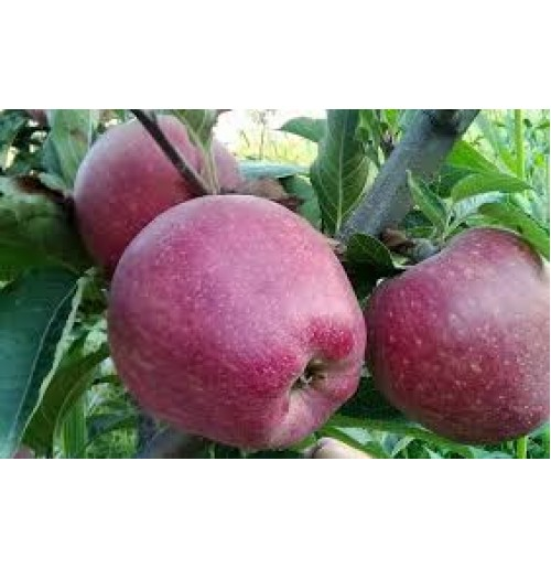 Kashmir Apples (Sweeter)