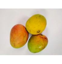 Mango - Lalbar (will take 3-4 days to ripen)