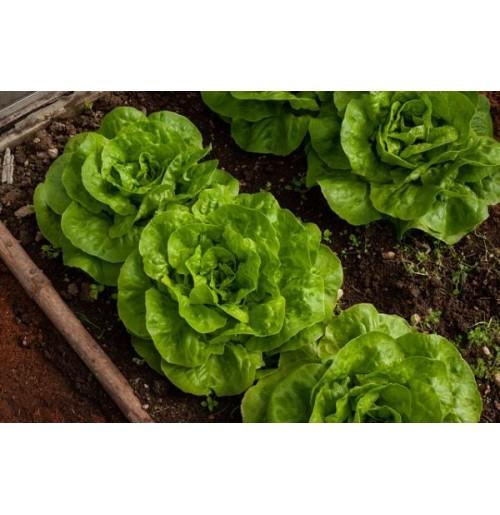 Seeds - Lettuce Green