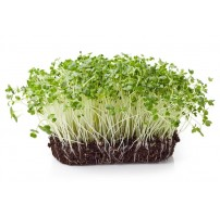Micro Greens - Broccoli (Live Plant)