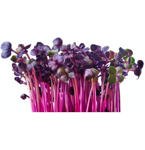 Micro Greens - Purple Raddish (50gms, Harvested)