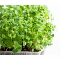 Micro Greens - Arugula/ Rocket (Live Plant)