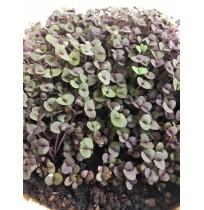 Micro Greens - Purple Basil (Live Plant)