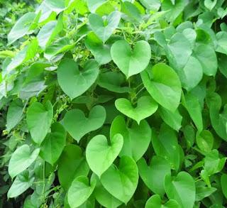 Amruthaballi - A Divine Herb