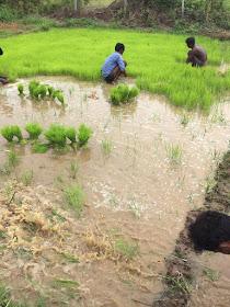 Farmers hard at work, transplanting Paddy