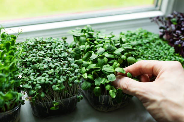 Beginners Guide to Microgreens